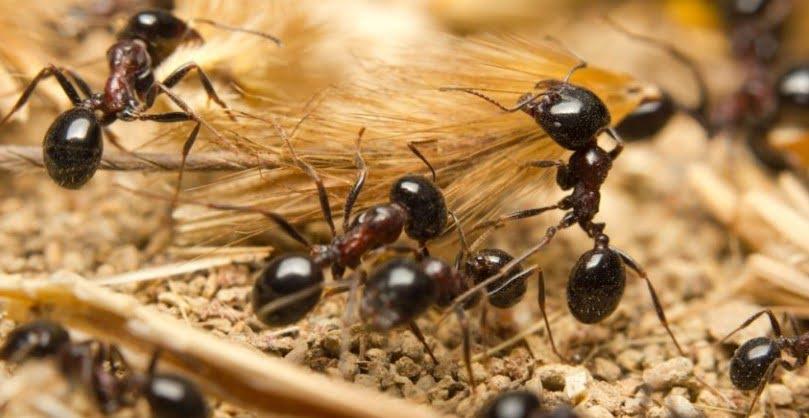 Karınca İlaçlama Nasıl Yapılır?