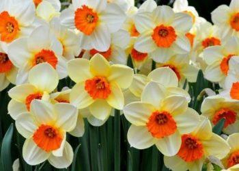 Nergis Çiçeği ve Bakımı