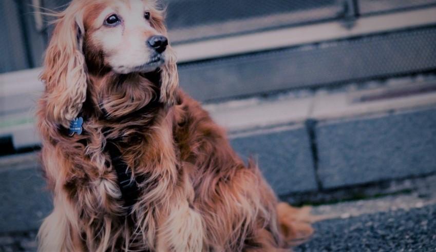 Köpek Sahiplenmenin Tarihi Çok Eskilere Dayanıyor